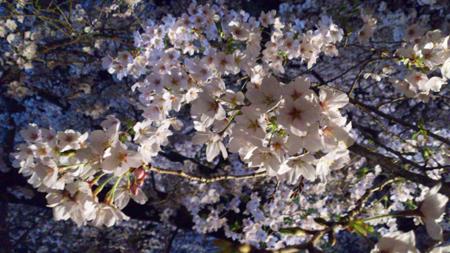 植物園の夜桜